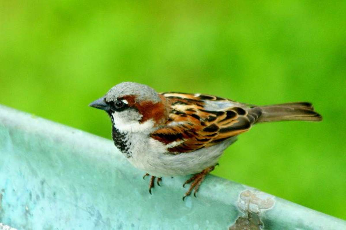 Common sparrow