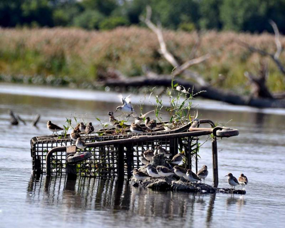 Sandpipers on grocery cart