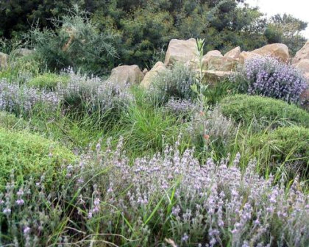 wild Greek vegetation