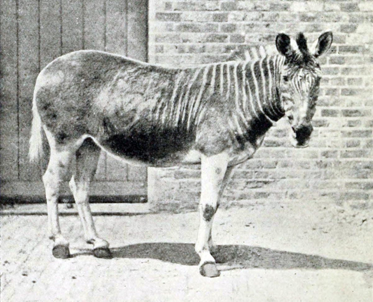 Quagga - Picture taken in 1870.