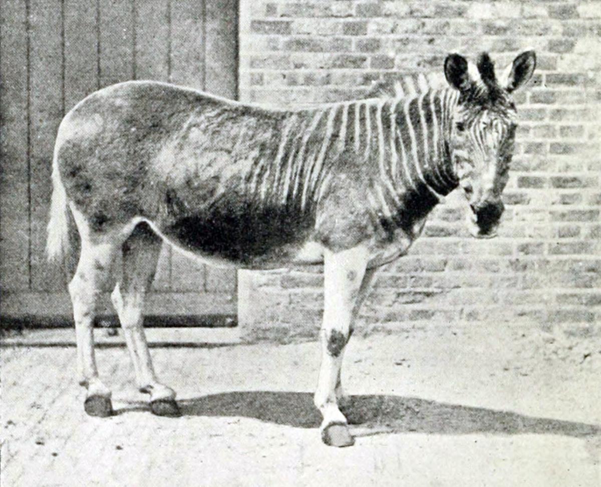 Quagga - Picture taken in 1870.