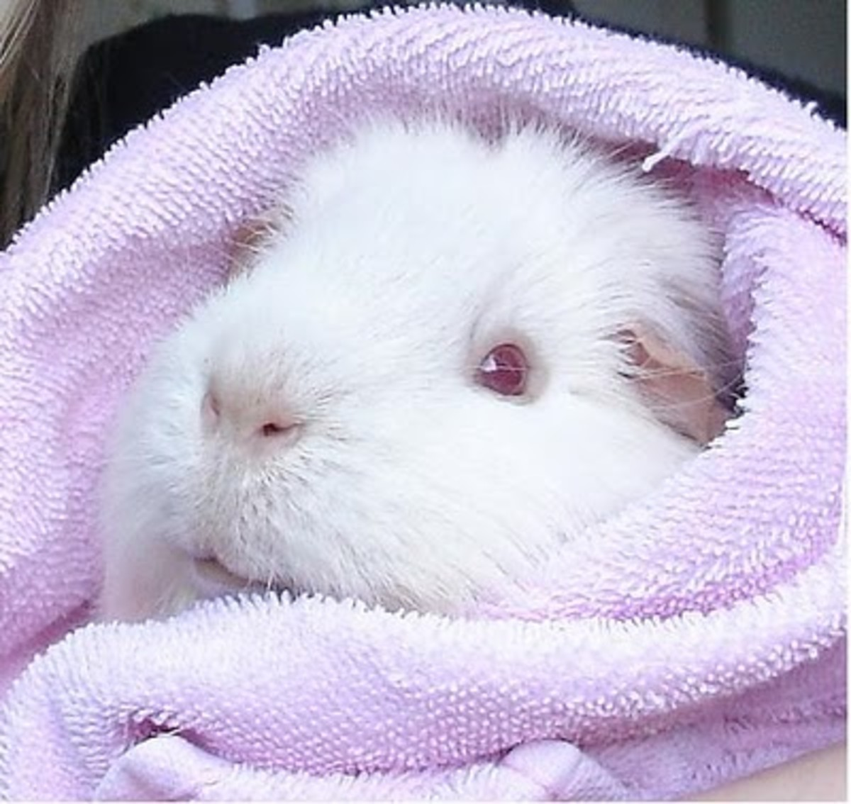 Albino guinea pigs are popular