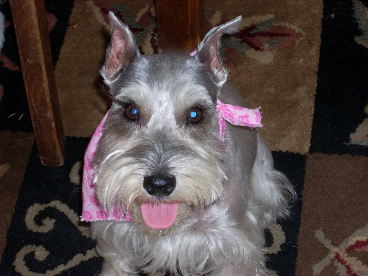 The Way of the Terrier, or Life With a Miniature Schnauzer