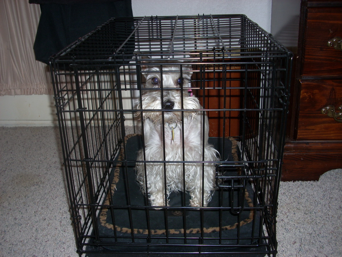 the-way-of-the-terrier-or-life-with-a-miniature-schnauzer