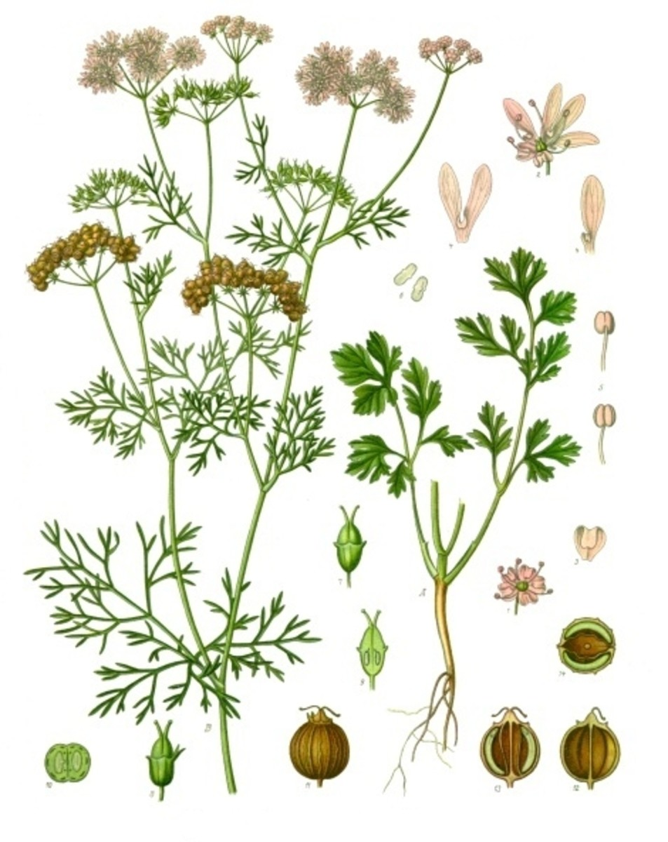 Coriandrum sativum or cilantro.