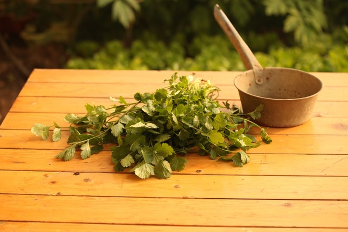 Benefits and Allergy to Cilantro and Coriander