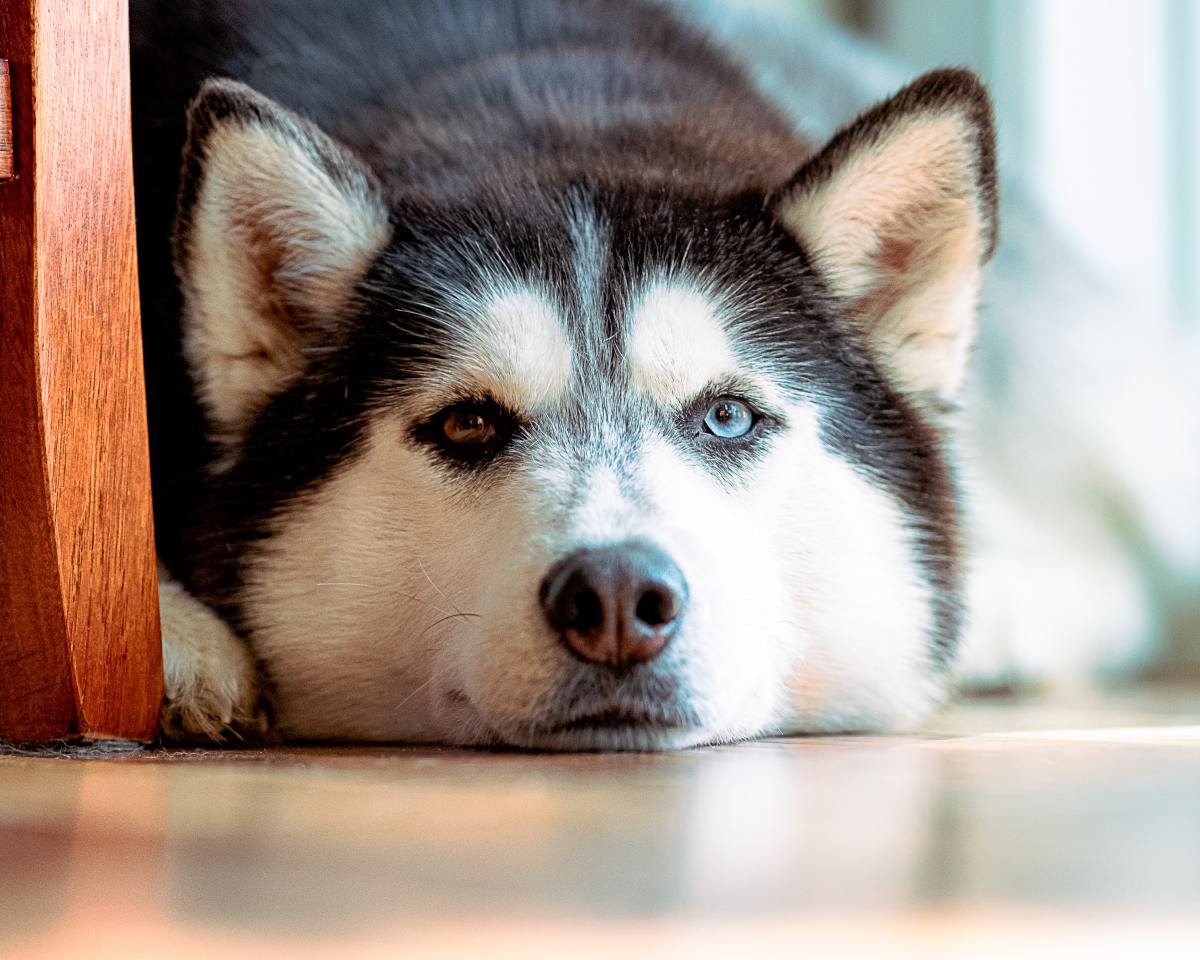 Huskies are known escape artists.
