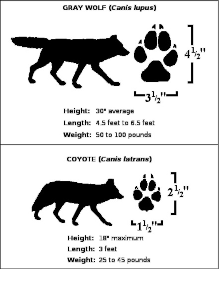 wolf coyote info