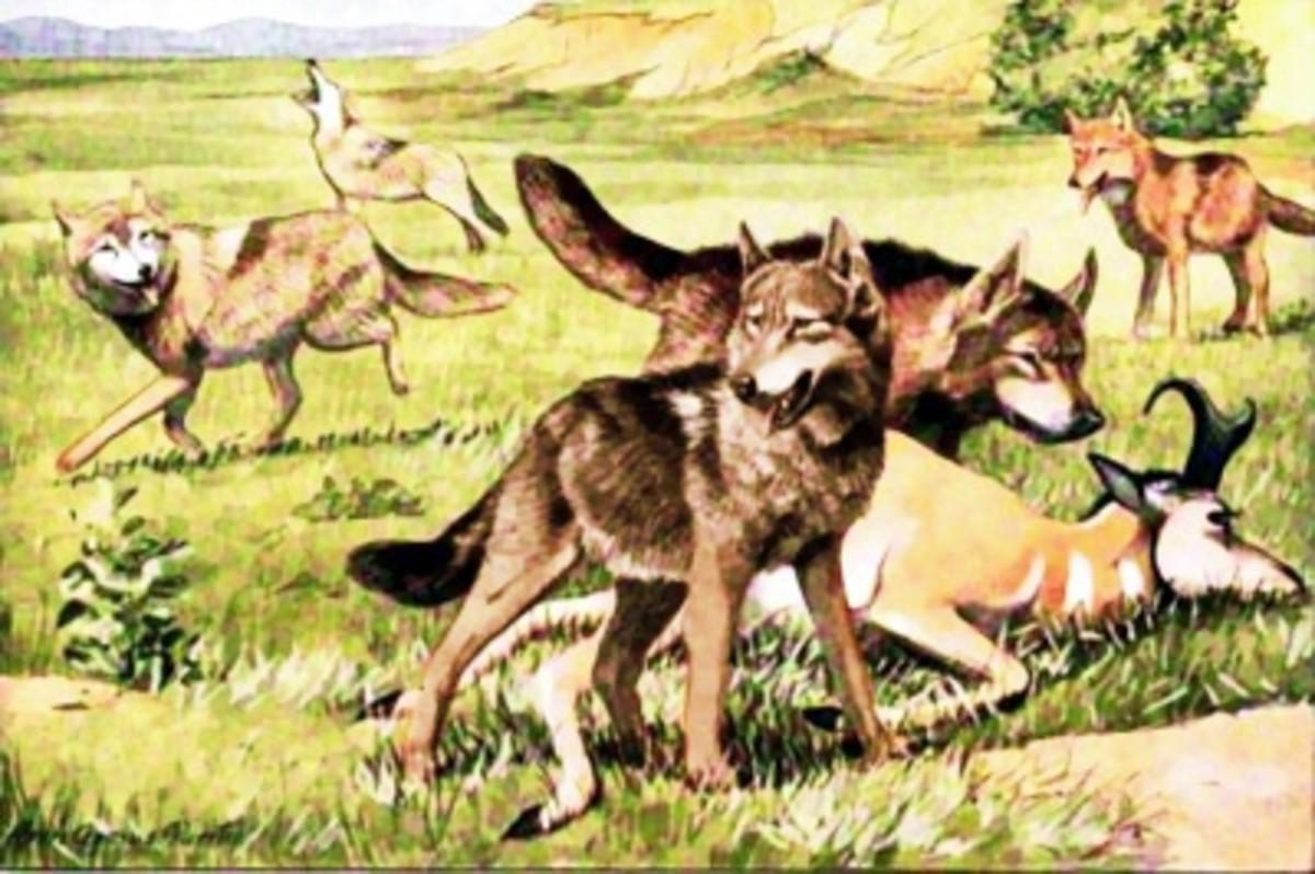 Wolves Work Together