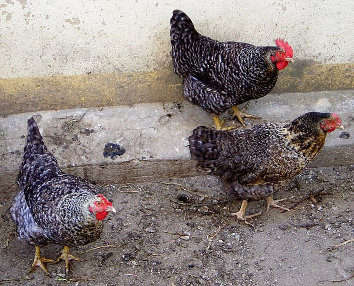 Domestic hens (Gallus gallus), unknown breed