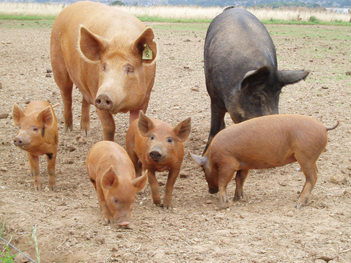 Large Black and Tamworth sows and piglets. Photo by amandabhslater.