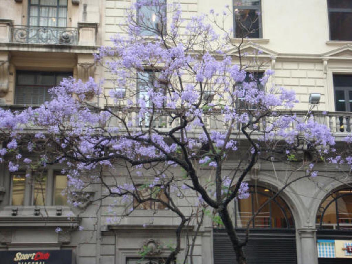 Jacaranda tree, Spring in Buenos Aires