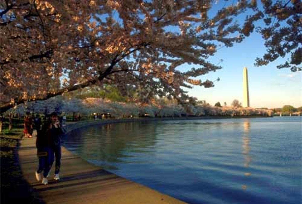 The Washington Monument and Cherry Trees in bloom