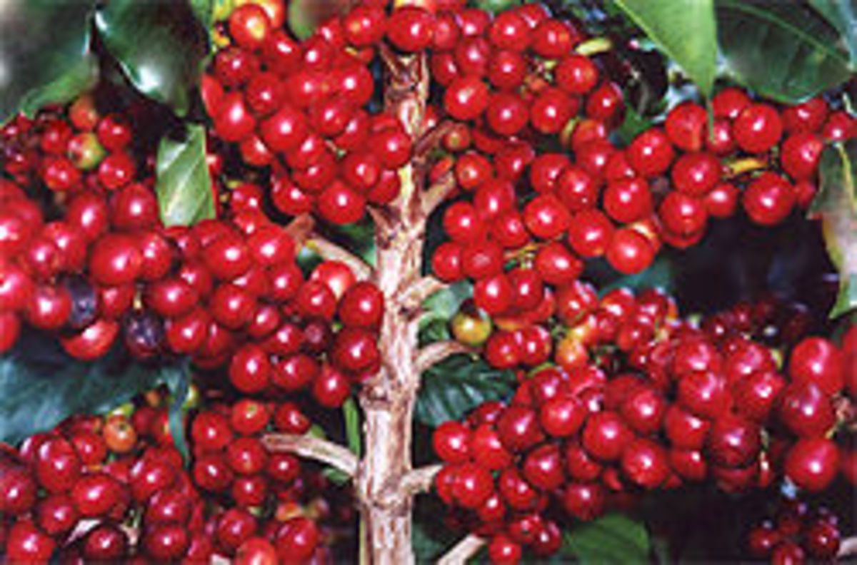 Coffee beans still on a bush
