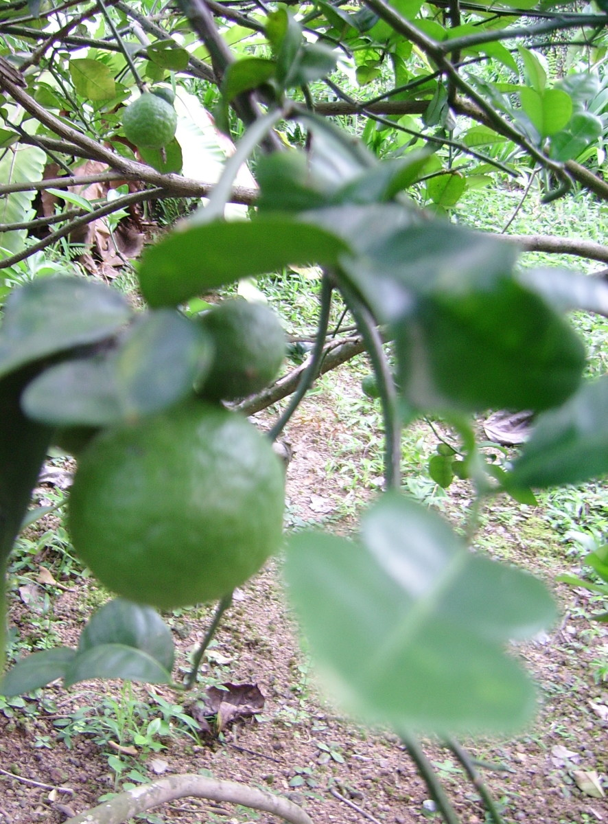 """Limau purut"" / Kaffir lime (Citrus hystrix). This type of lime can be identified by its distinctive leaves which are shaped like a figure ""8""."