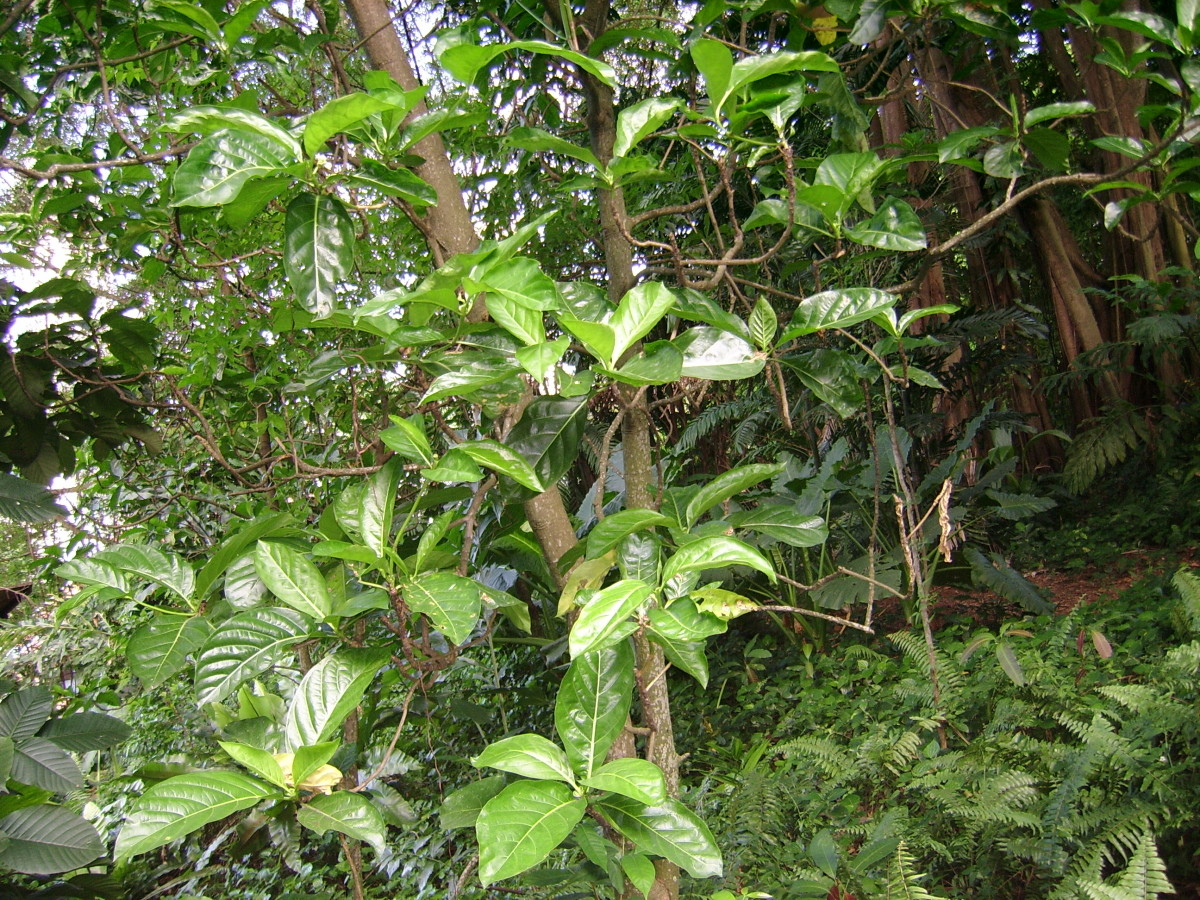 """""""Mengkudu"""" / Noni (Morinda) tree. Most people know about Hawaiian noni, but not many realise that the noni plant is also indigenous to Southeast Asia, and is used by Malays for traditional healing."""