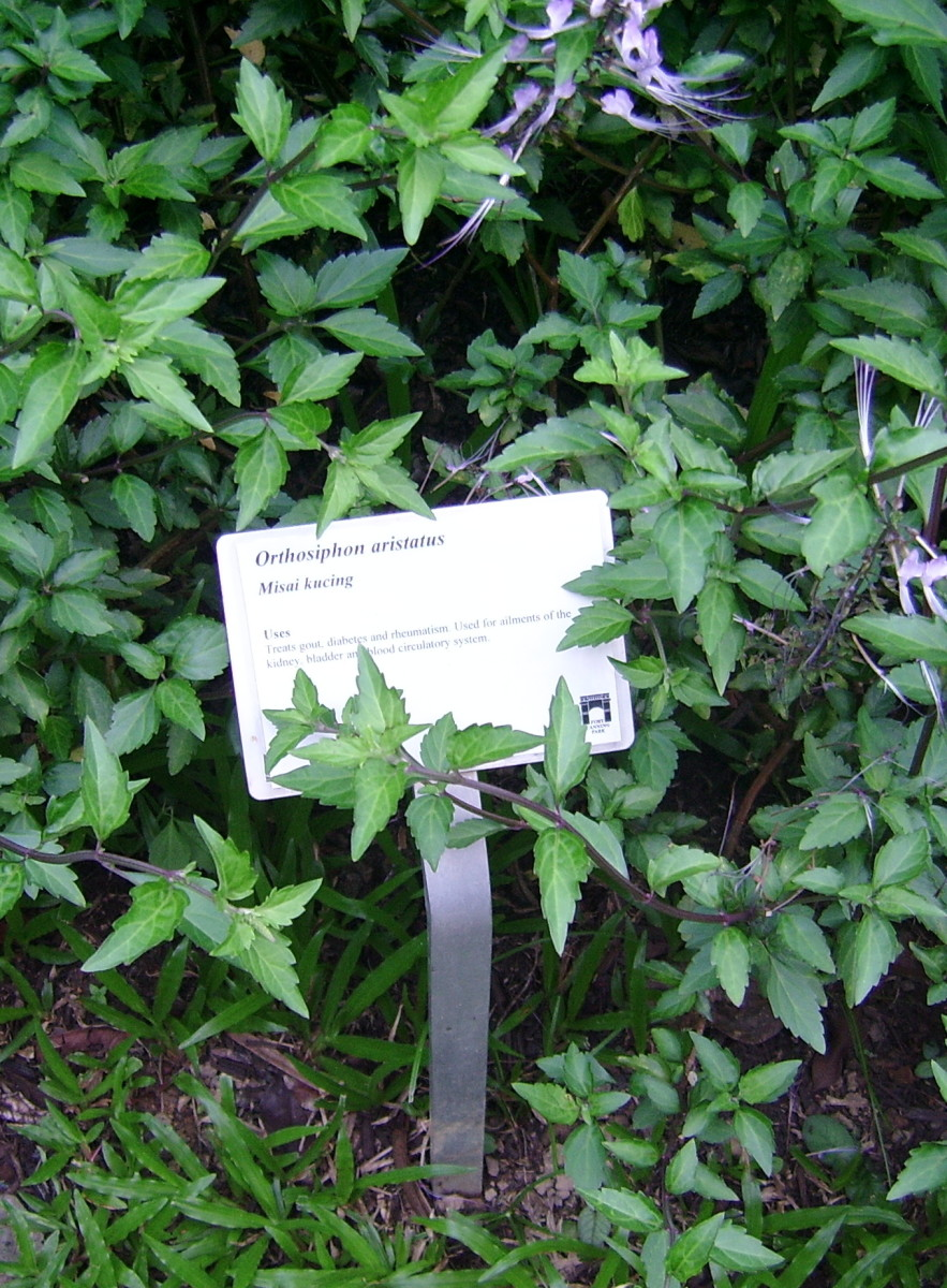 """Cat's Whiskers / """"Misai kucing"""" (Orthosiphon aristatus). Believed to be excellent for kidney complaints and gout. Common herb used in Malay 'jamu' healing preparations"""