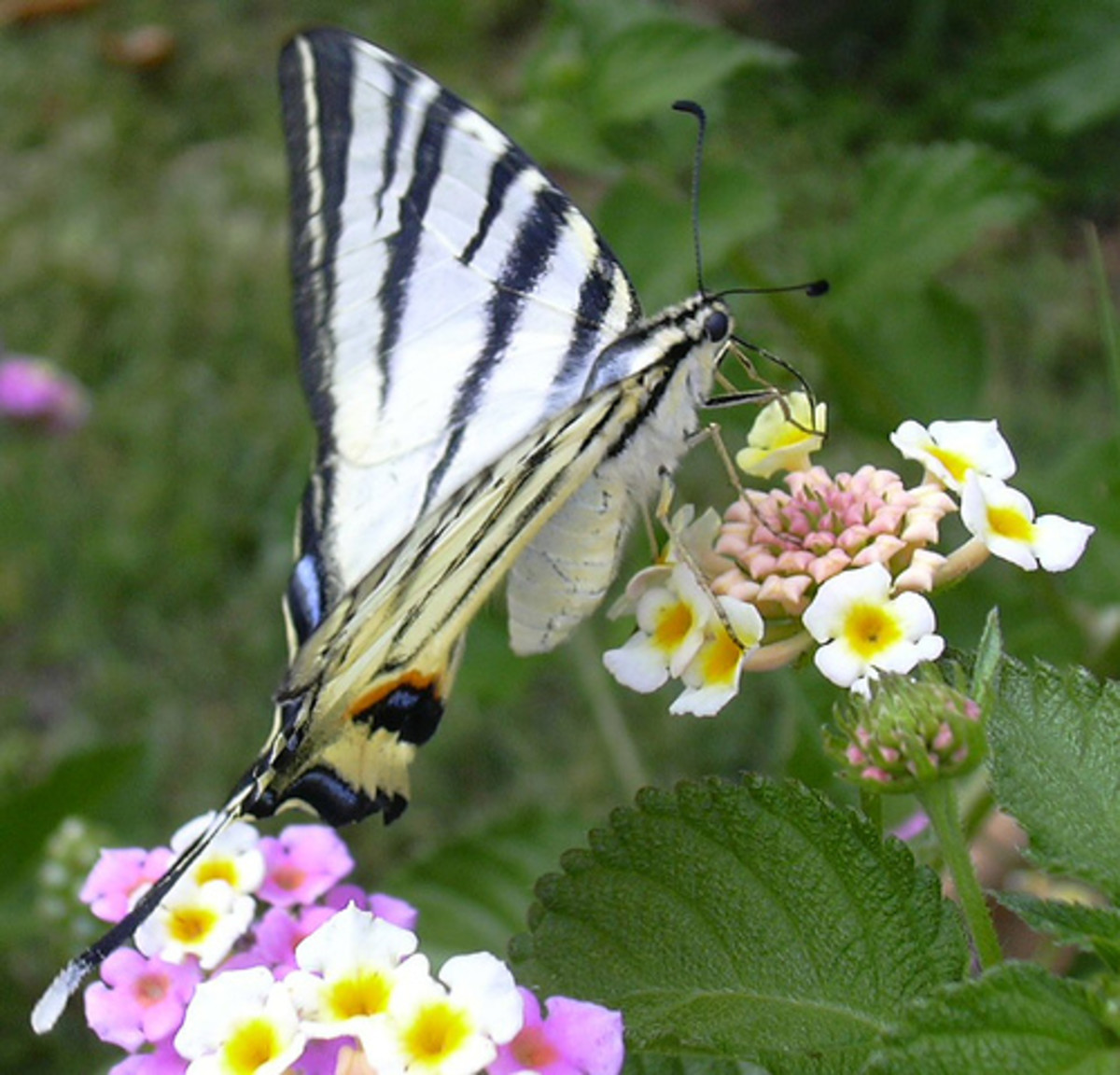 A large butterfly of Lefkada