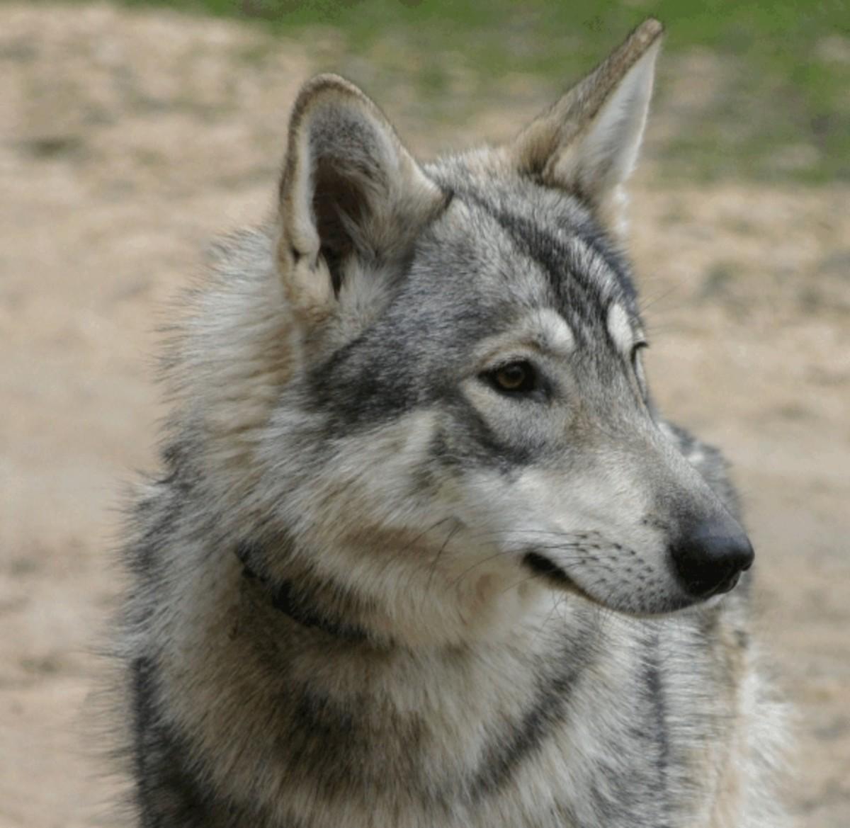 Wolf Dog Hybrids