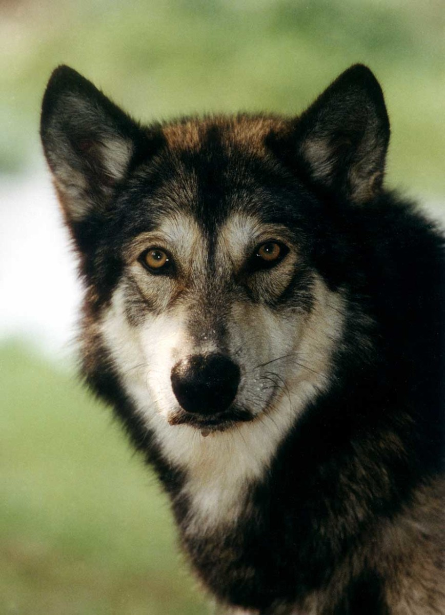 Wolf Dog Hybrids Hubpages