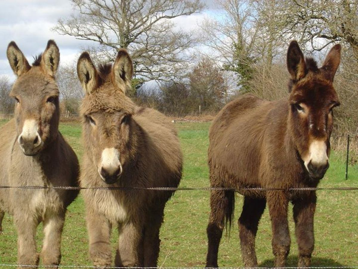 Donkeys from F'anes de Carottes at Les Trois chenes