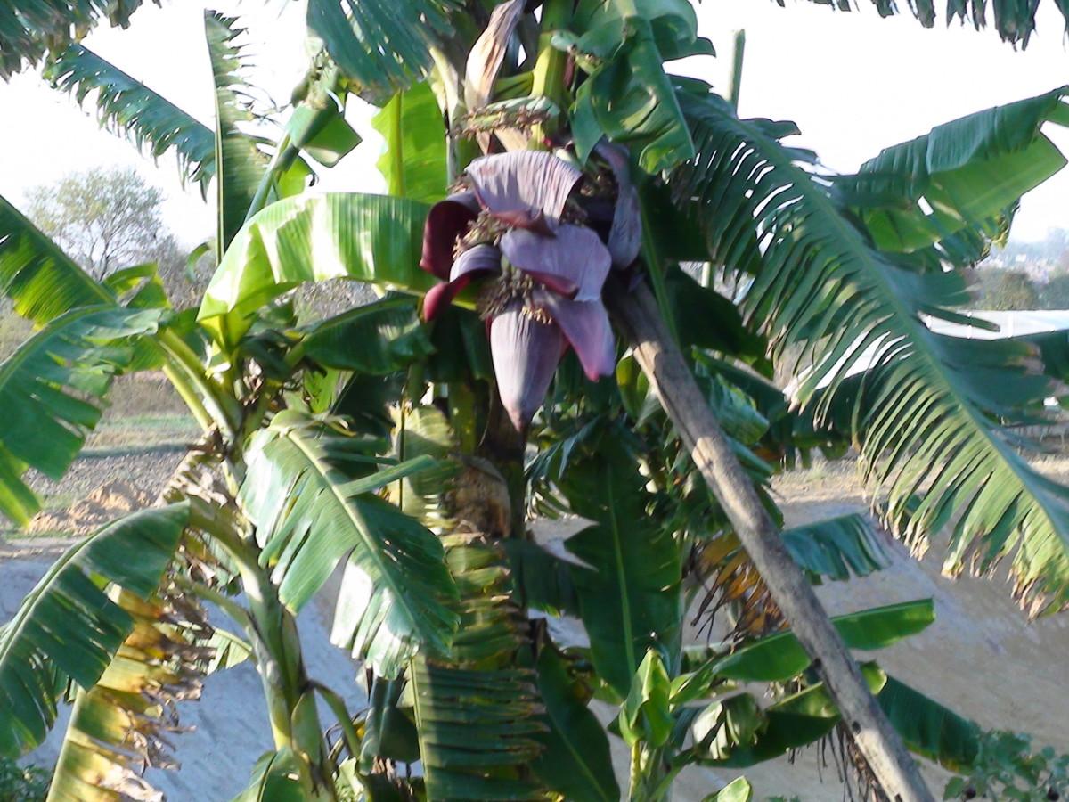 Banana Health Benefits & Popular Banana Recipes