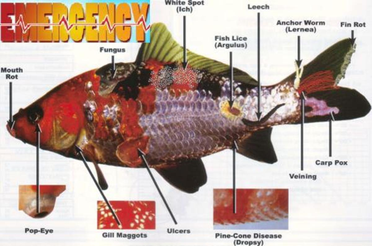 Tropical fish and koi for Koi fish parasites