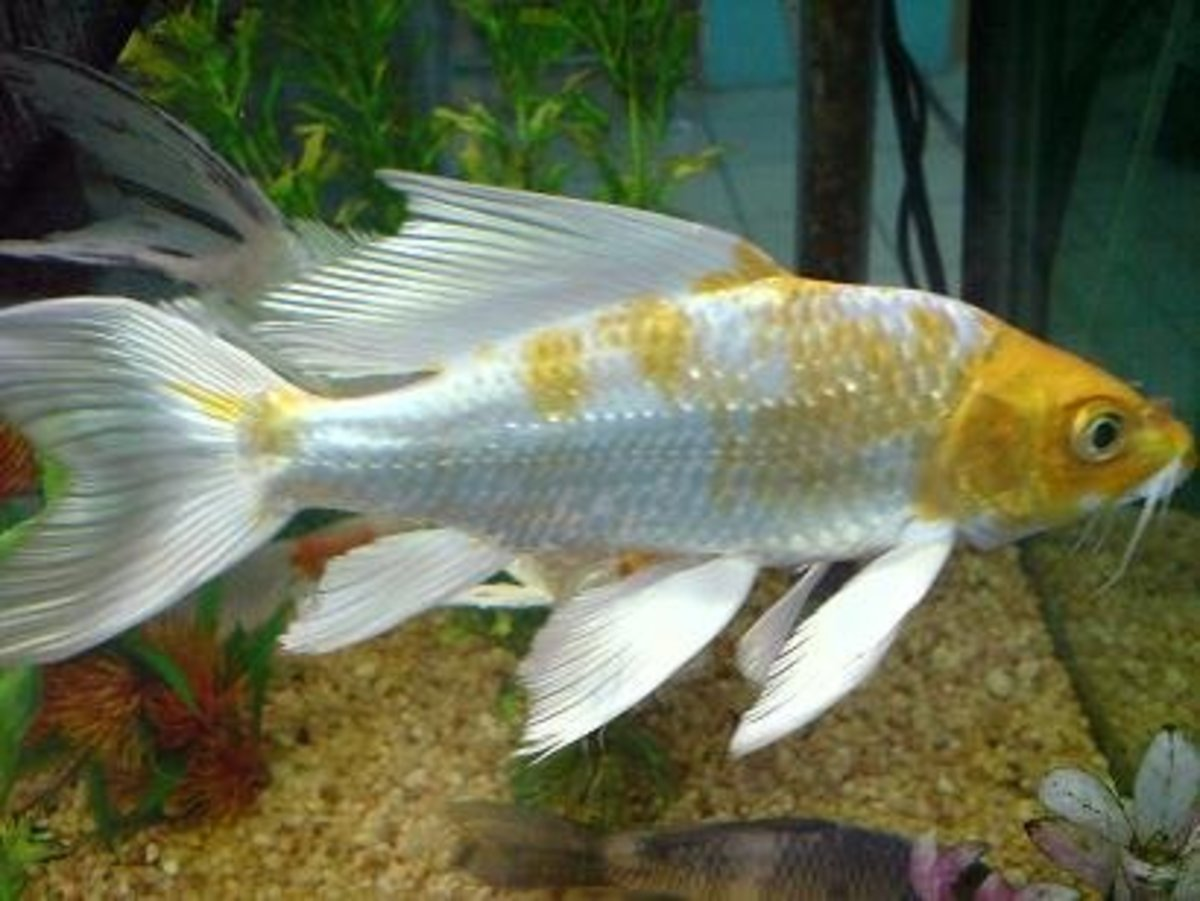 Tropical fish and koi for Butterfly koi fish aquarium