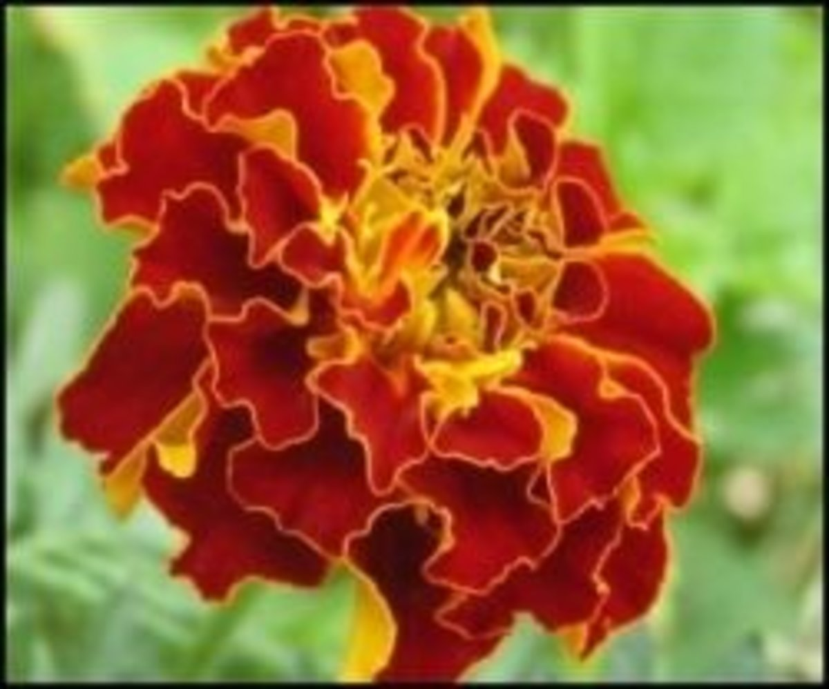 The Edible Marigold