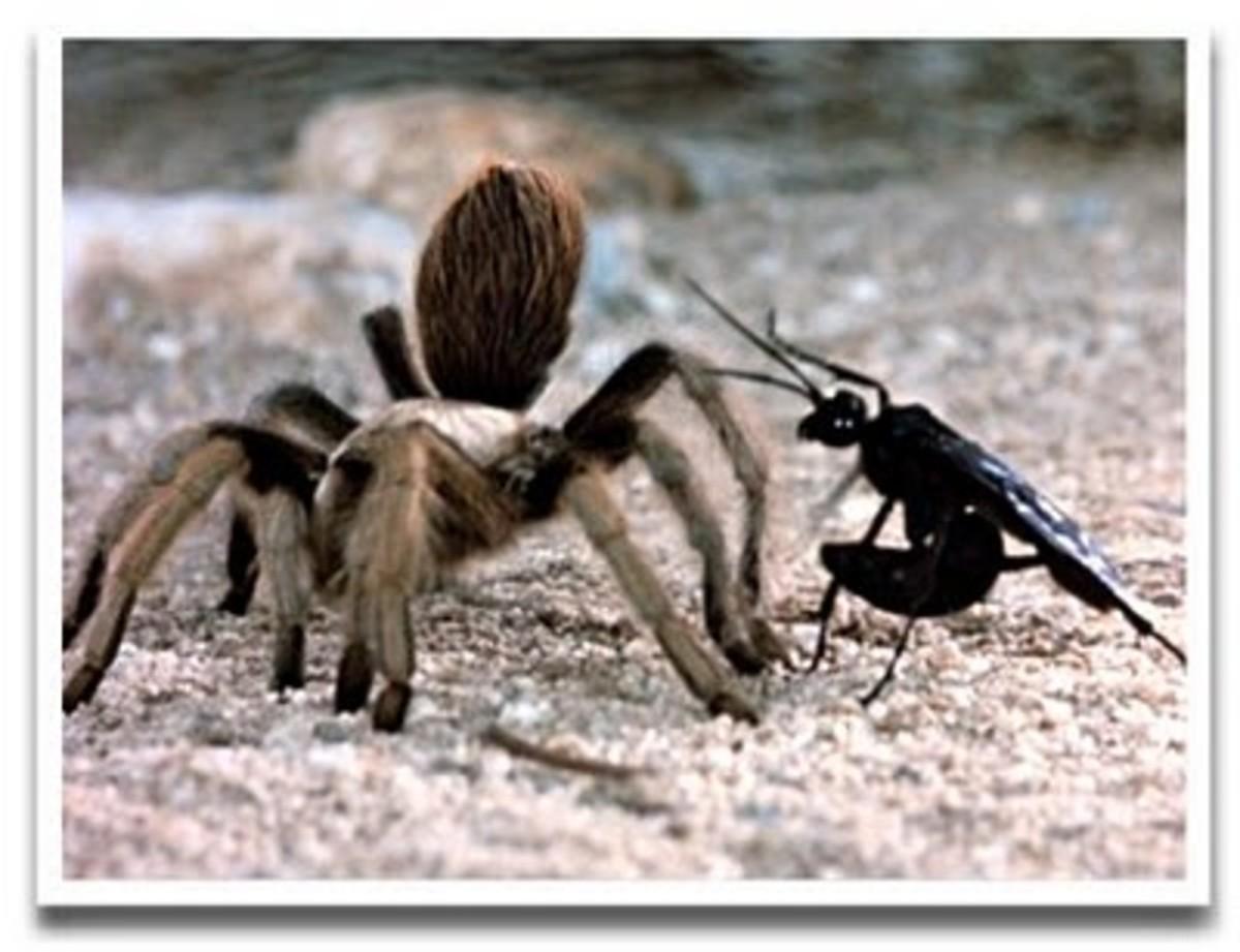 Dessert wasp attacking a Tarrantula spider