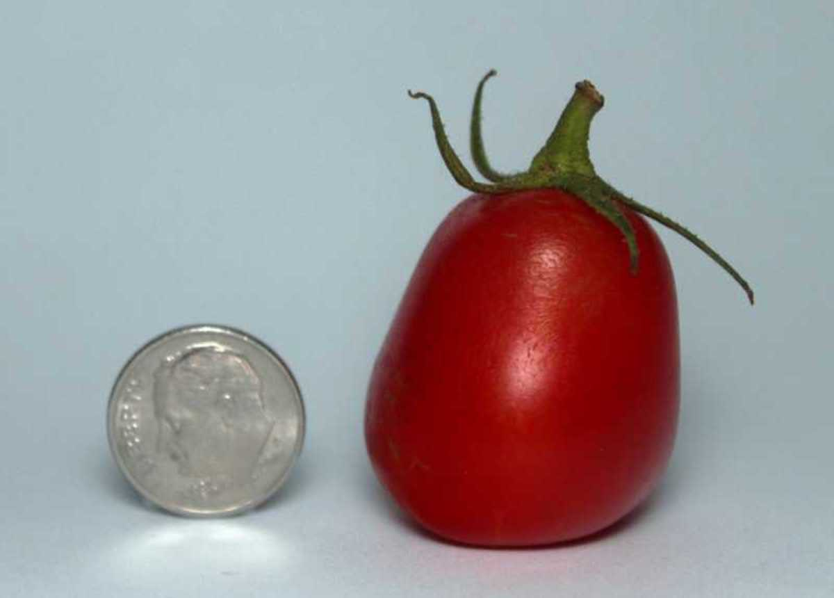 Hopefully, your tomatoes will be bigger than this one, which was my first ripe tomato of the season. Copyright 2010 Bill Yovino
