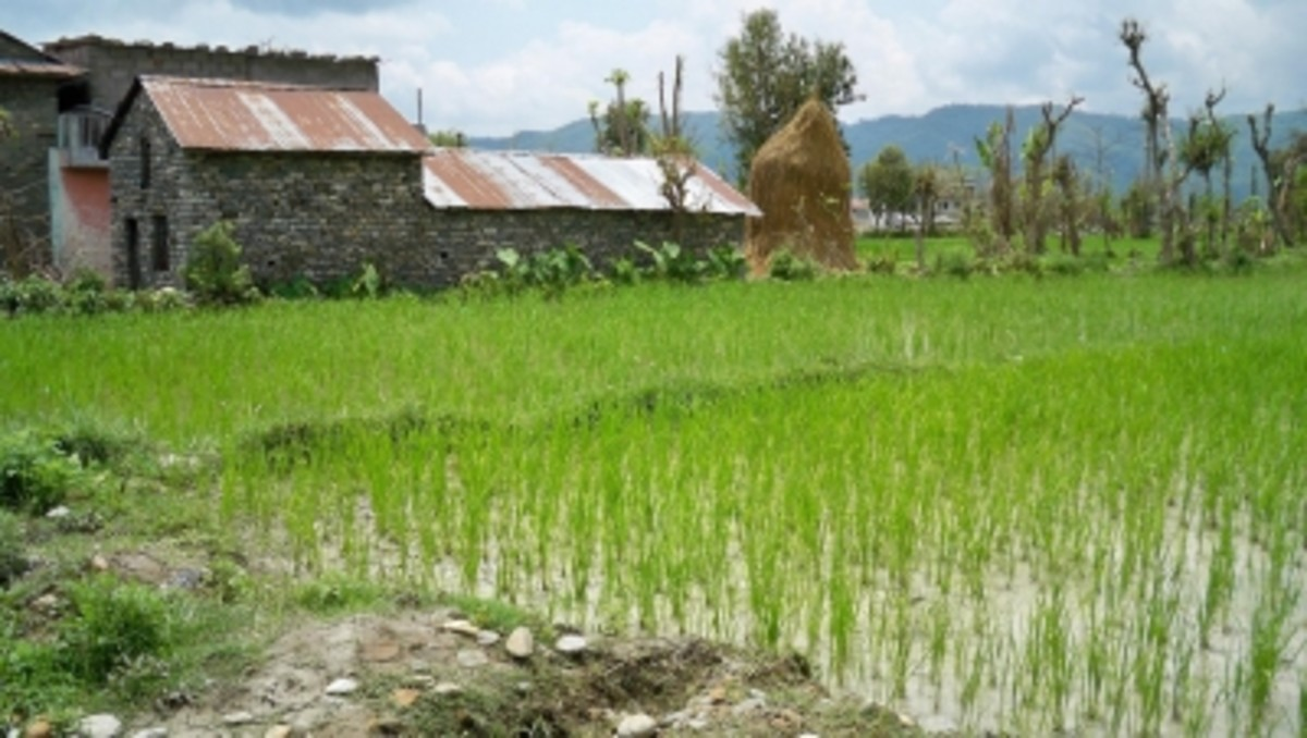 The outskirts of Pokhara are lush and green, with rice paddies and corn fields surrounding the small homesteads.