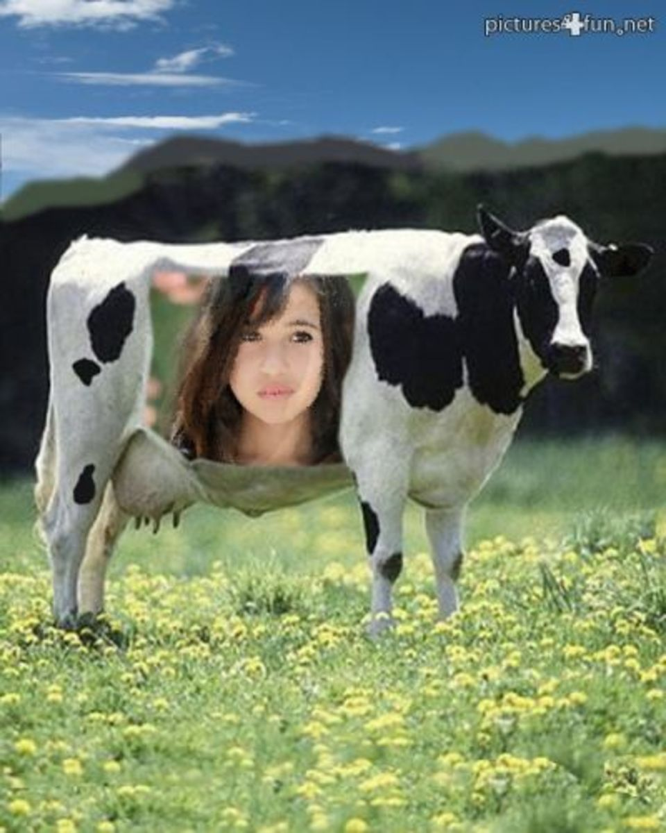A Photographic Cow