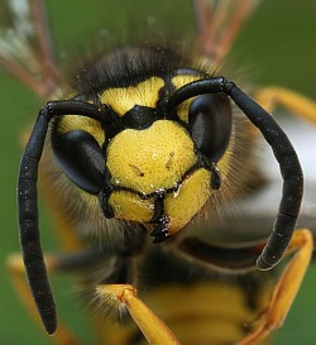 African killer bee. Photograph by Richard Bartz...licensed under creative commons