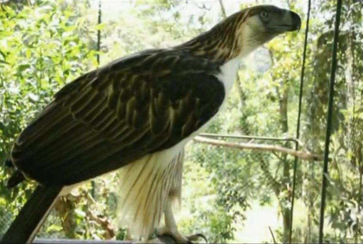 A Philippine Eagle in captivity