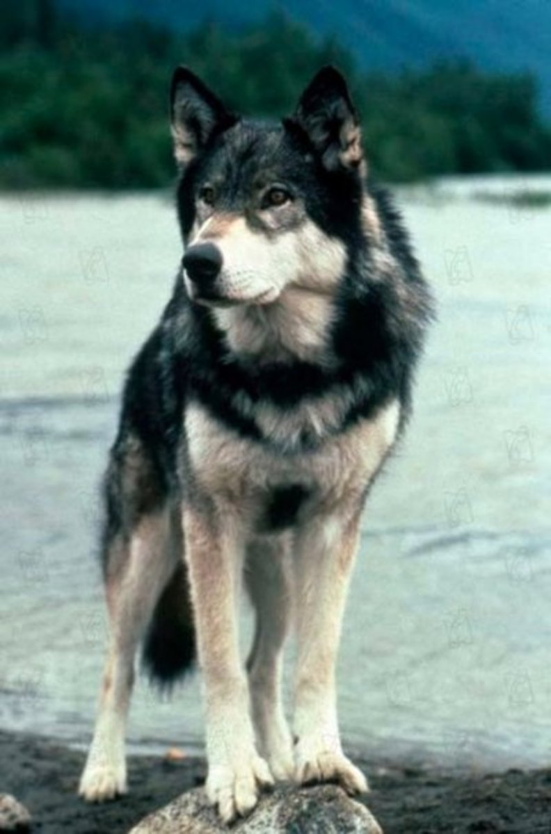 Jed is a wolf-dog hybrid, just like White Fang
