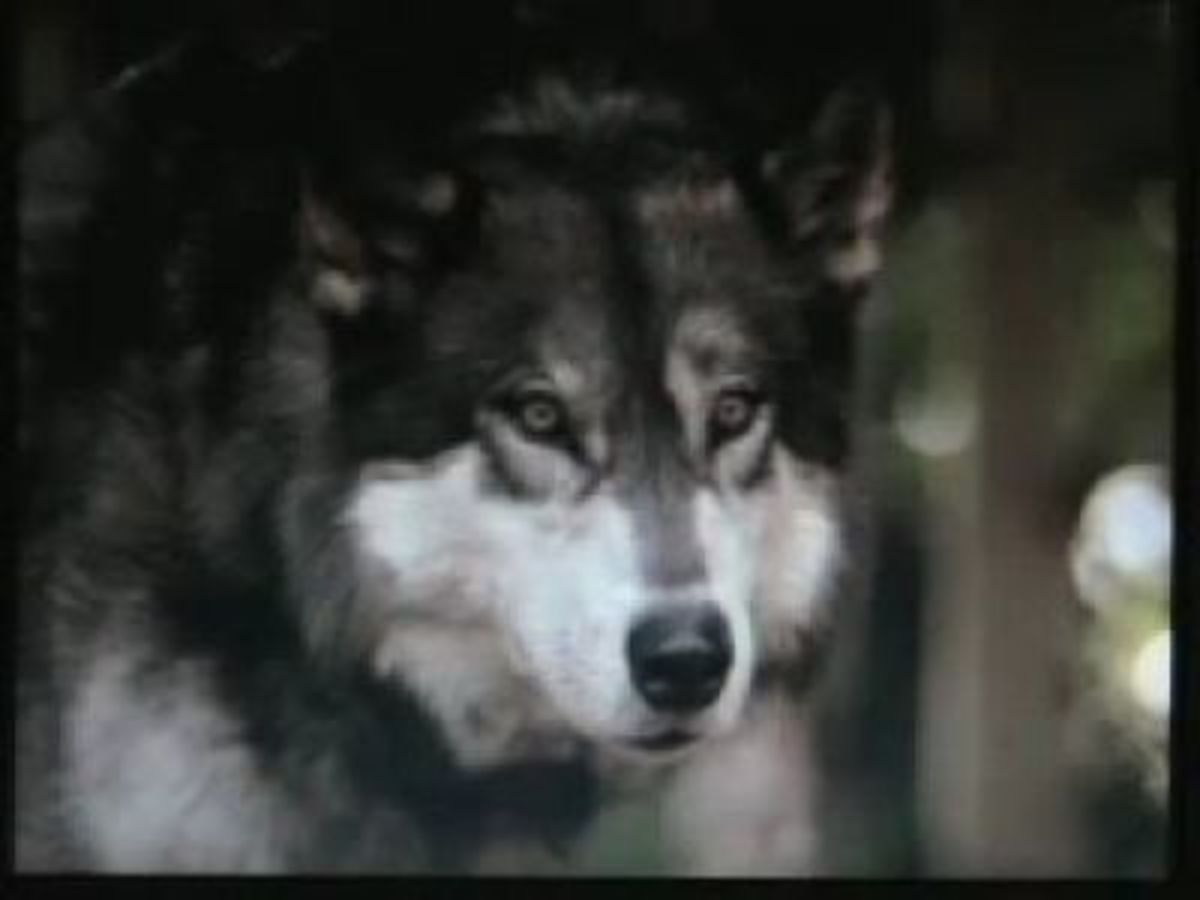 Part Alaskan Malamute, part wolf - Jed's wild side comes out in White Fang