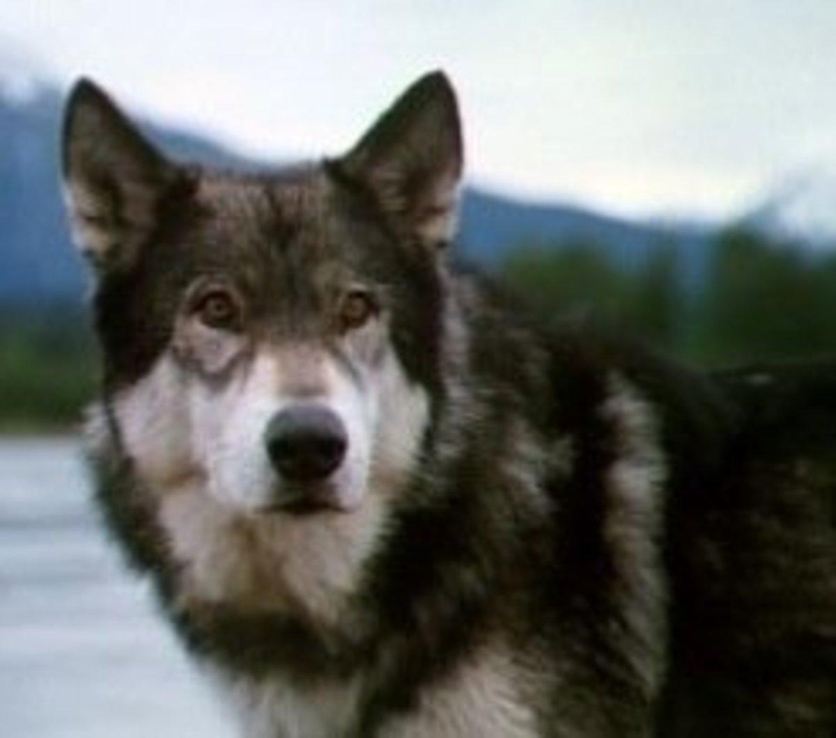Jed the Movie Dog