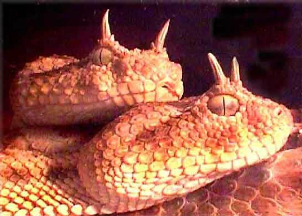 Horned Viper Snake