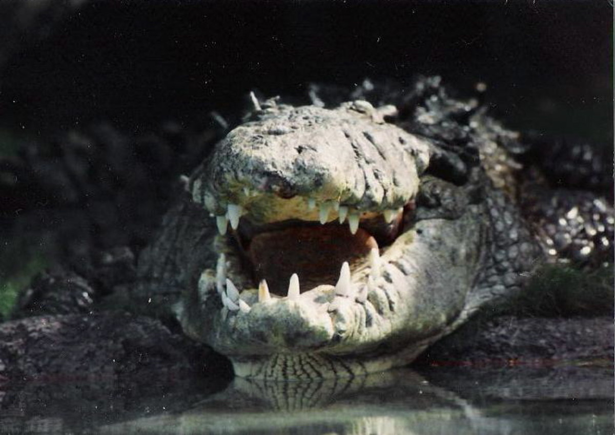 grinning alligator wiki commons photo credit