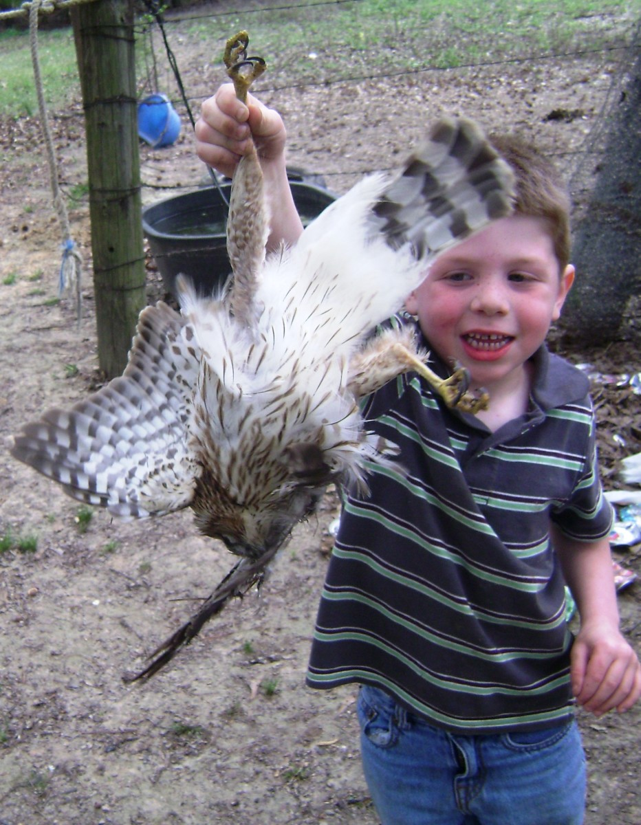 Mad Rooster Attacks Child!