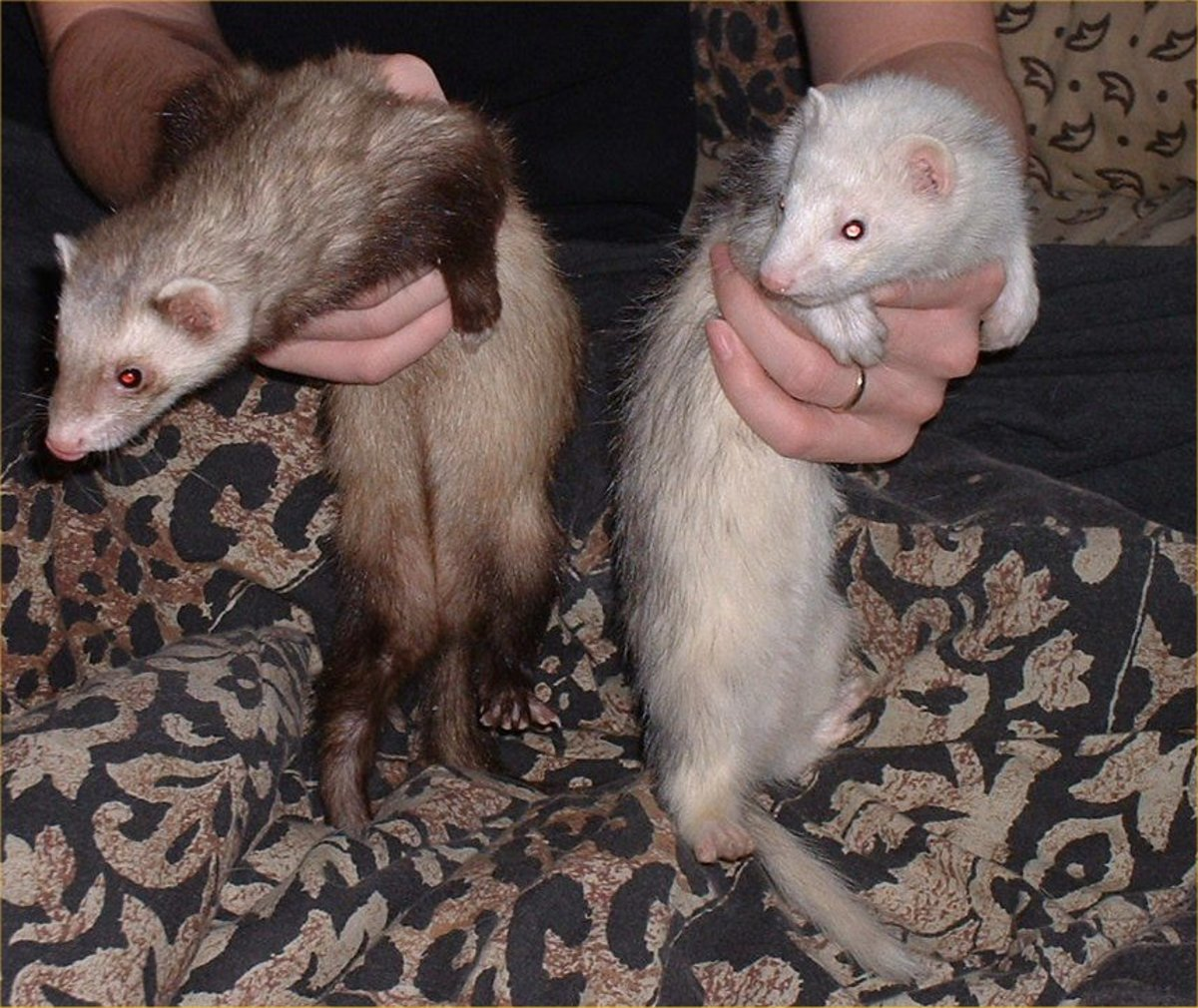 Having just one ferret may only last a few weeks, for some reason they are highly addictive so do not get one unless you may want another...and another....and another...