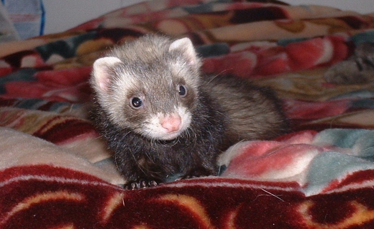 Some pros and cons when owning a ferret!