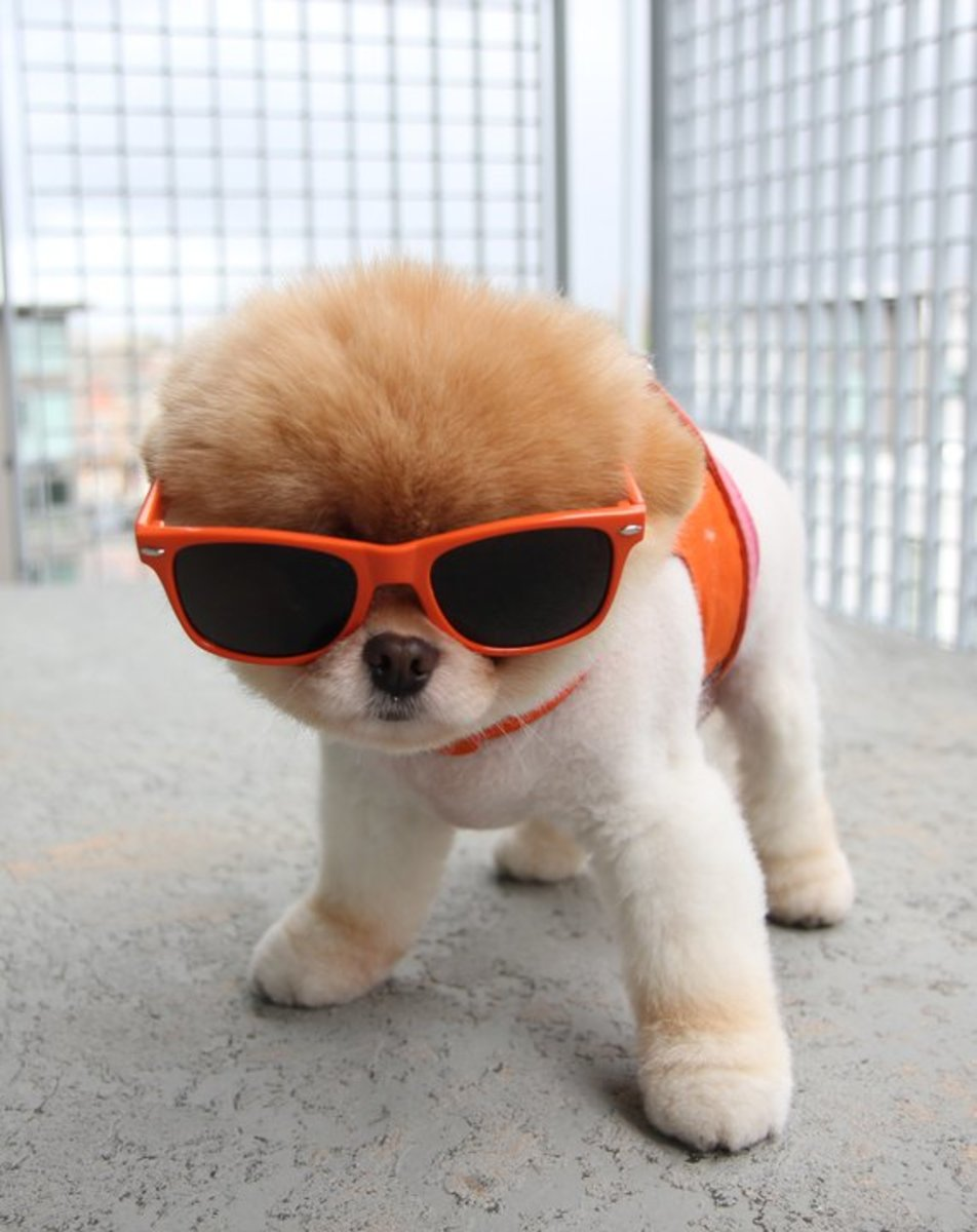 Boo the Pomeranian Coolest dog on Facbook