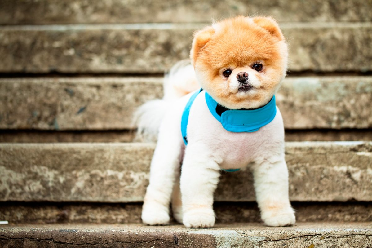 This Pomeranian is one tough city puppy.