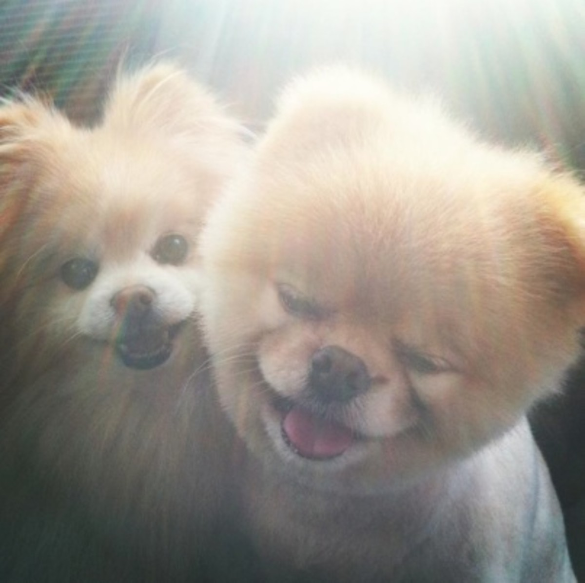 Boo the Cutest Dog and his Buddy enjoying the sun.