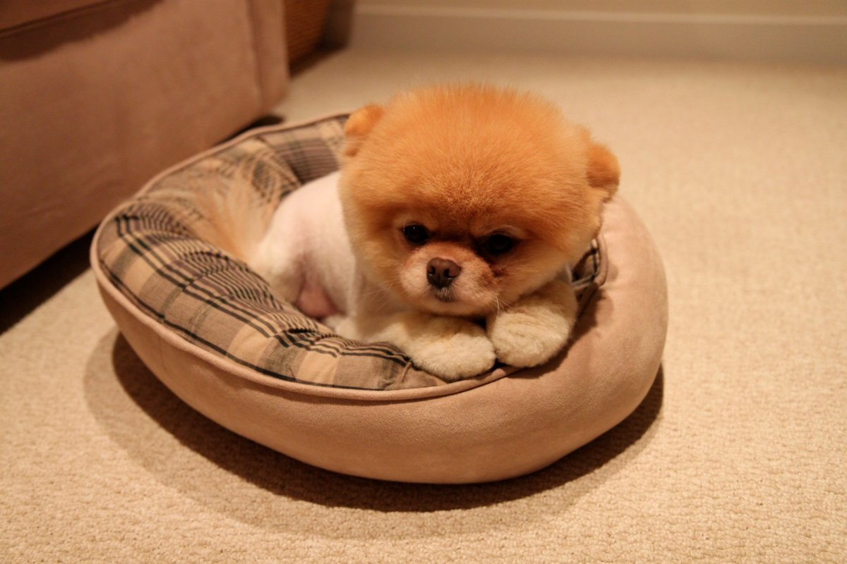 A donut bed, perfect for your Pomeranian