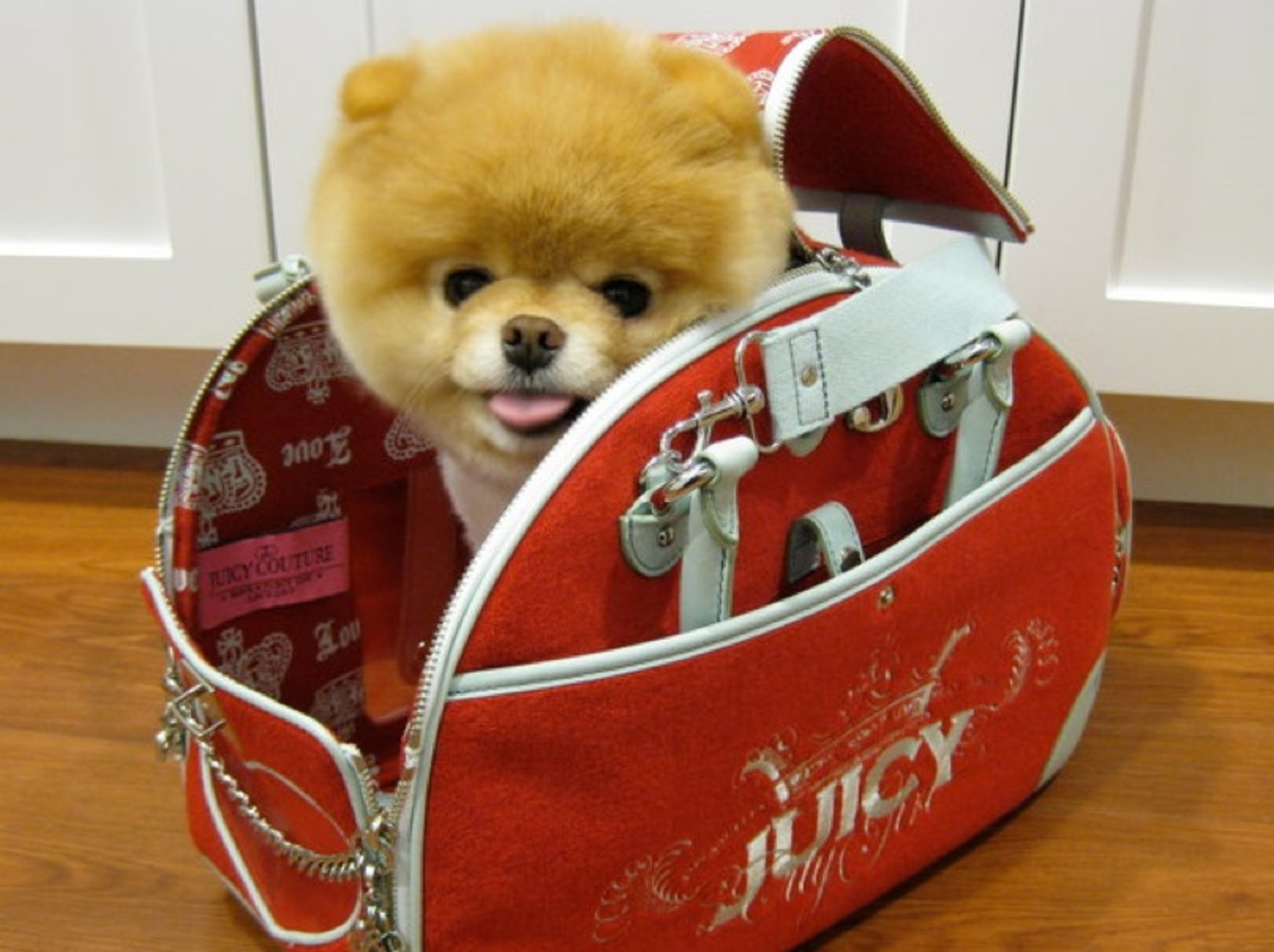 Boo the Cutest Dog in his Juicy dog carrier