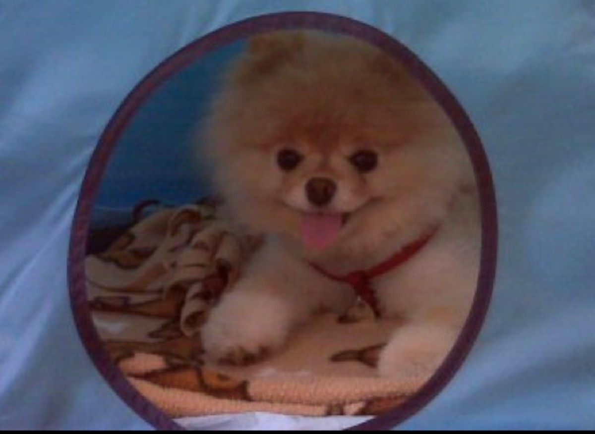 The cutest Pomeranian