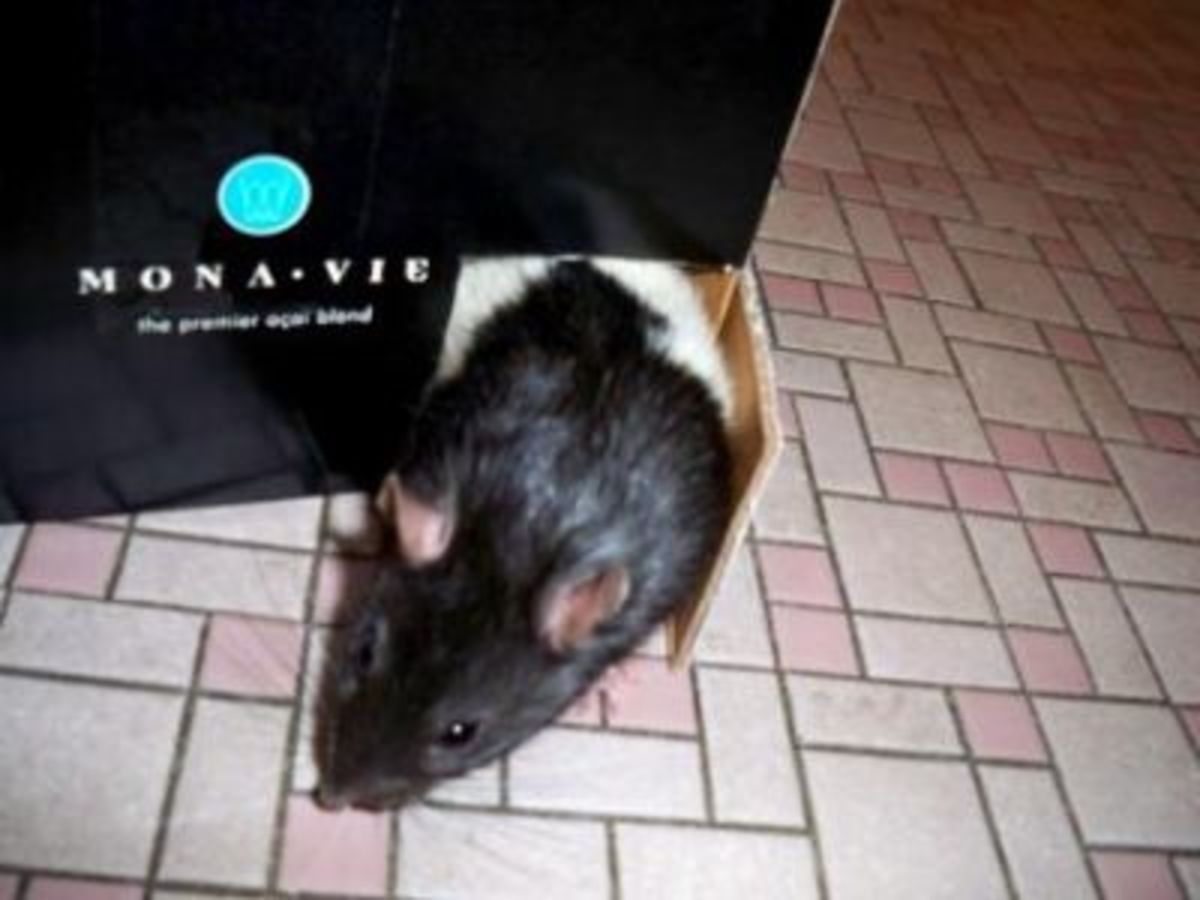 homemade toy for pet rat
